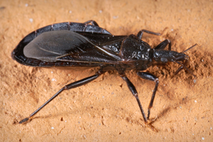 Triatoma protracta, California species of kissing bug Photo by James Gathany